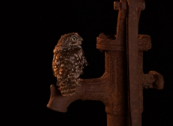 little-owl-copyright-photographers-on-safari-com-8915