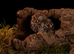 little-owl-copyright-photographers-on-safari-com-8918