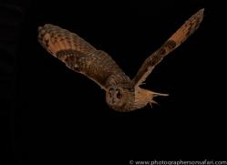 long-eared-owl-copyright-photographers-on-safari-com-8773
