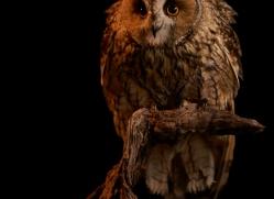 long-eared-owl-copyright-photographers-on-safari-com-8775