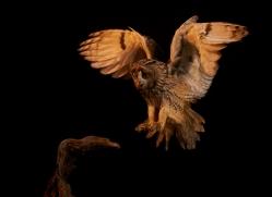 long-eared-owl-copyright-photographers-on-safari-com-8780