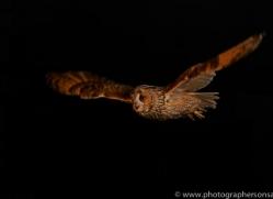 long-eared-owl-copyright-photographers-on-safari-com-8785