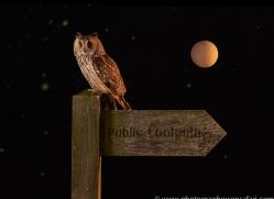long-eared-owl-copyright-photographers-on-safari-com-8919