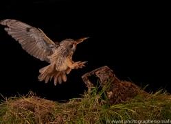 long-eared-owl-copyright-photographers-on-safari-com-8920