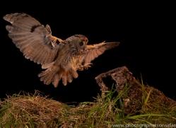 long-eared-owl-copyright-photographers-on-safari-com-8921