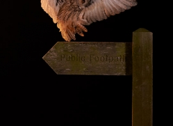 long-eared-owl-copyright-photographers-on-safari-com-8929