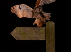 long-eared-owl-copyright-photographers-on-safari-com-8938
