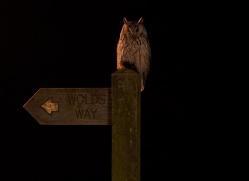 long-eared-owl-copyright-photographers-on-safari-com-8940