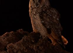 long-eared-owl-copyright-photographers-on-safari-com-8943