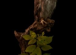 scopps-owl-copyright-photographers-on-safari-com-8791