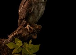 scopps-owl-copyright-photographers-on-safari-com-8792
