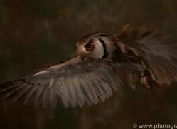scopps-owl-copyright-photographers-on-safari-com-8797