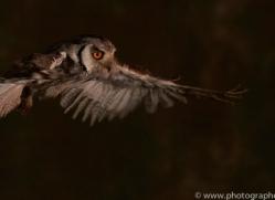 scopps-owl-copyright-photographers-on-safari-com-8953