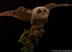 tawny-owl-copyright-photographers-on-safari-com-8800
