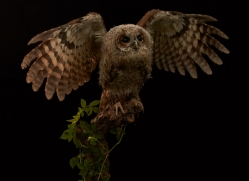 tawny-owl-copyright-photographers-on-safari-com-8801