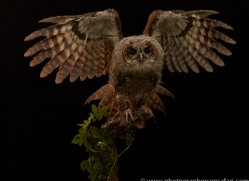 tawny-owl-copyright-photographers-on-safari-com-8802