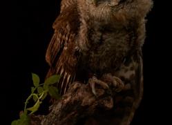 tawny-owl-copyright-photographers-on-safari-com-8804