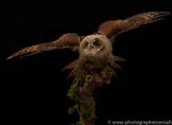tawny-owl-copyright-photographers-on-safari-com-8807