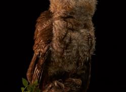 tawny-owl-copyright-photographers-on-safari-com-8809