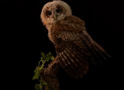 tawny-owl-copyright-photographers-on-safari-com-8812