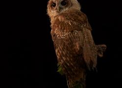 tawny-owl-copyright-photographers-on-safari-com-8813