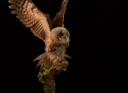 tawny-owl-copyright-photographers-on-safari-com-8816