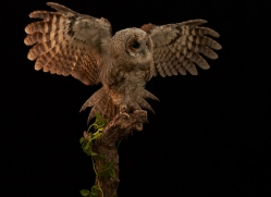 tawny-owl-copyright-photographers-on-safari-com-8817