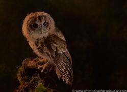 tawny-owl-copyright-photographers-on-safari-com-8818