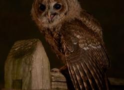 tawny-owl-copyright-photographers-on-safari-com-8819
