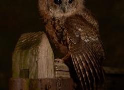 tawny-owl-copyright-photographers-on-safari-com-8820