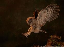 tawny-owl-copyright-photographers-on-safari-com-8828