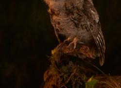tawny-owl-copyright-photographers-on-safari-com-8829