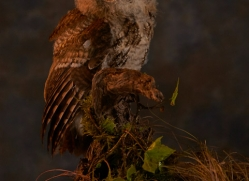tawny-owl-copyright-photographers-on-safari-com-8830