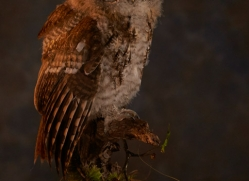 tawny-owl-copyright-photographers-on-safari-com-8832
