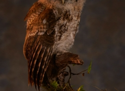 tawny-owl-copyright-photographers-on-safari-com-8833
