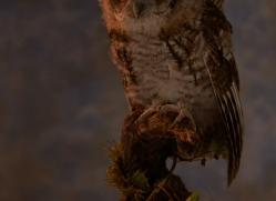 tawny-owl-copyright-photographers-on-safari-com-8834