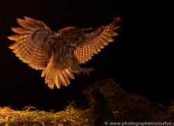 tawny-owl-copyright-photographers-on-safari-com-8965