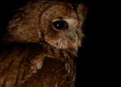 tawny-owl-copyright-photographers-on-safari-com-8972
