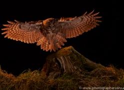 tawny-owl-copyright-photographers-on-safari-com-8975
