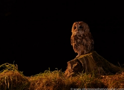 tawny-owl-copyright-photographers-on-safari-com-8977