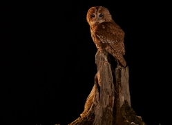 tawny-owl-copyright-photographers-on-safari-com-8984