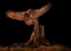 tawny-owl-copyright-photographers-on-safari-com-8985