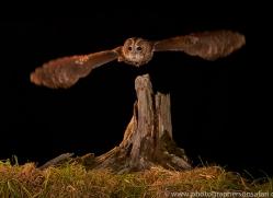 tawny-owl-copyright-photographers-on-safari-com-8986