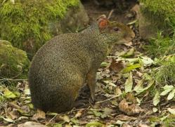 agouti-4073-dartmoor-copyright-photographers-on-safari-com