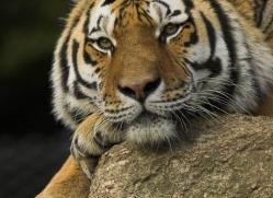 amur-tiger-4063-dartmoor-copyright-photographers-on-safari-com