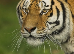 amur-tiger-4069-dartmoor-copyright-photographers-on-safari-com