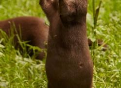 asian-short-clawed-otter-4075-dartmoor-copyright-photographers-on-safari-com