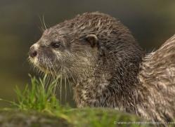 asian-short-clawed-otter-4077-dartmoor-copyright-photographers-on-safari-com