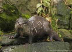 asian-short-clawed-otter-4078-dartmoor-copyright-photographers-on-safari-com