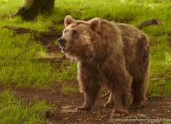 brown-bear-european-4014-dartmoor-copyright-photographers-on-safari-com